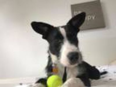 Adopt Campbell a Border Collie, Wirehaired Terrier