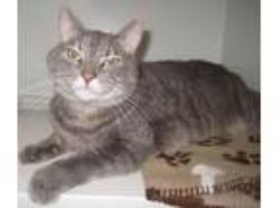 Adopt Kitty James/Buddy (hickory) a Domestic Short Hair