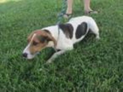 Adopt Prissy a Treeing Walker Coonhound