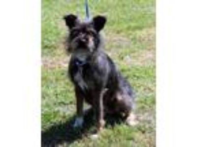 Adopt Toto a Black Cairn Terrier / American Staffordshire Terrier / Mixed dog in