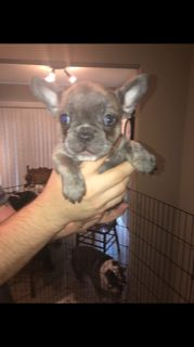 American French Bull Terrier PUPPY FOR SALE ADN-93654 - French Bulldogs