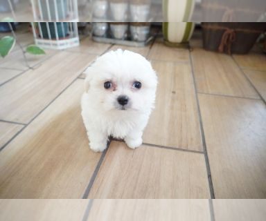 Maltese PUPPY FOR SALE ADN-130415 - Teacup Maltese Pup