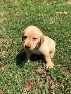Labrador Retriever PUPPY FOR SALE ADN-88767 - Litter of 8 puppies