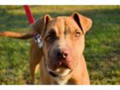Adopt Jaws a Shar Pei / Pit Bull Terrier / Mixed dog in Victoria, TX (19221373)