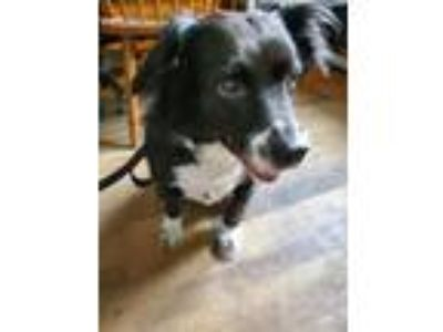 Adopt Minnie a Border Collie, Spaniel