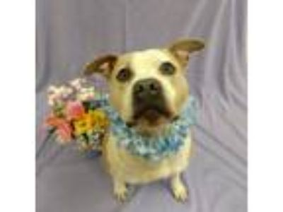 Adopt Opie a American Staffordshire Terrier