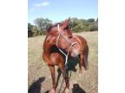 Standardbred cross mare