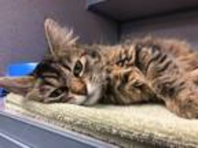 Adopt Brit - WOW kitten!! a Maine Coon