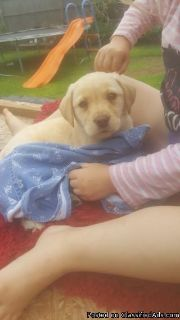 socialized Puppies Labrador for any intrested pson