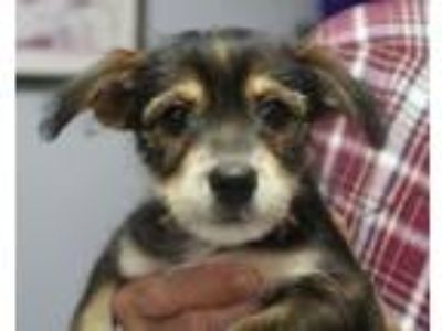 Adopt Laverne a Black - with Tan, Yellow or Fawn Standard Schnauzer / Mixed dog
