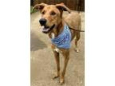 Adopt Charley a Red/Golden/Orange/Chestnut Retriever (Unknown Type) / Mixed dog