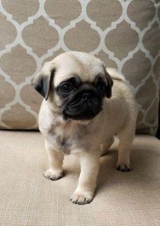 Pug PUPPY FOR SALE ADN-90780 - Pug Puppies