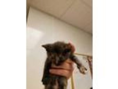Adopt Esme a All Black Domestic Shorthair / Domestic Shorthair / Mixed cat in