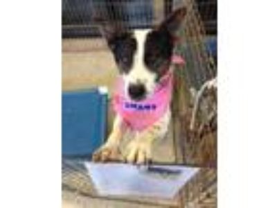 Adopt Drambuie a White Hound (Unknown Type) / Rat Terrier / Mixed dog in
