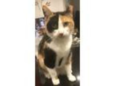 Adopt Phyllis a Calico or Dilute Calico American Shorthair / Mixed cat in
