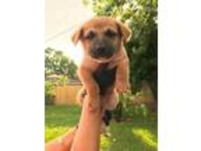 Adopt May a German Shepherd Dog, Labrador Retriever