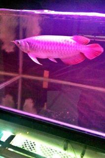 Grade AAA Arowana fishes