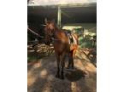 Western or English Dressage Pleasure Horse for Half Lease