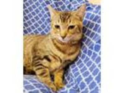 Adopt Hawk a Domestic Shorthair / Mixed cat in Westmont, IL (25846090)