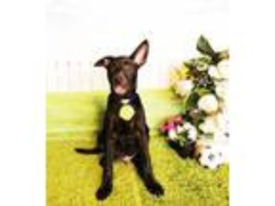 Adopt Shane a Black Labrador Retriever / Mixed dog in Castro Valley