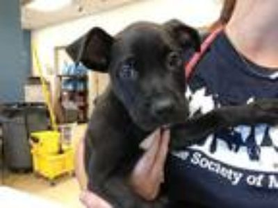 Adopt ZEPHYRUS a Black - with White American Pit Bull Terrier / Mixed dog in St.