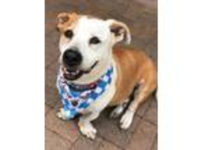 Adopt Oscar a Tan/Yellow/Fawn Hound (Unknown Type) / Mixed dog in Mesquite