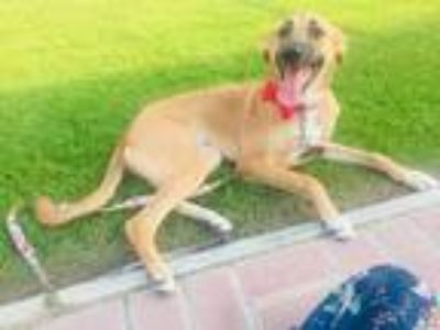 Adopt Sassy a Tan/Yellow/Fawn - with Black German Shepherd Dog / Saluki / Mixed