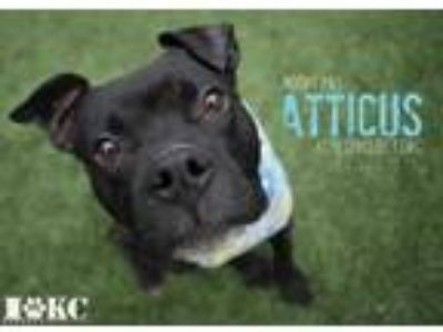 Adopt Atticus a Black American Pit Bull Terrier / Mixed dog in Kansas City