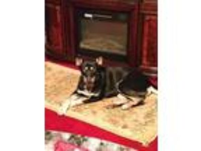 Adopt Rocky a Black - with Tan, Yellow or Fawn Shepherd (Unknown Type) / Husky