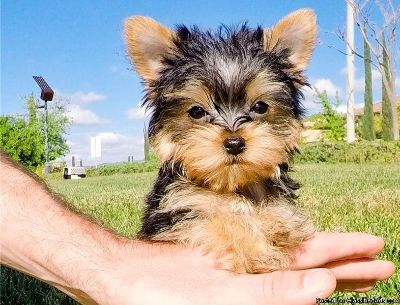 Adorable 12 week old Female pure breed Yorkie puppy