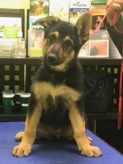 German Shepherd Dog PUPPY FOR SALE ADN-80083 - Pure Breed German Shepherds for Sale