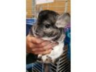 Adopt Fwoof a Chinchilla