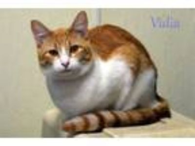 Adopt Vidia a Domestic Short Hair