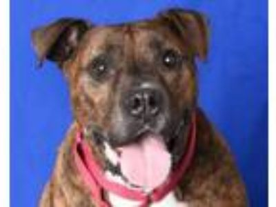 Adopt DUNCAN a Pit Bull Terrier, Mixed Breed
