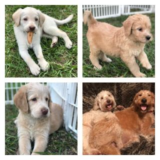 Puppies For Sale Classifieds In Seffner South Florida Clazorg