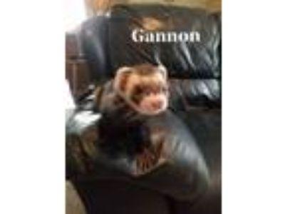 Adopt Gannon a Ferret