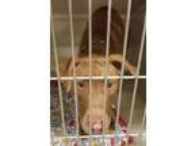 Adopt Rebel a Labrador Retriever, Pit Bull Terrier