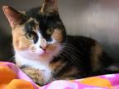 Adopt Sheriff Callie a Calico or Dilute Calico Domestic Shorthair (short coat)