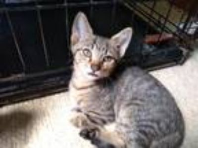 Adopt Chuck a Brown Tabby Domestic Shorthair / Mixed (short coat) cat in
