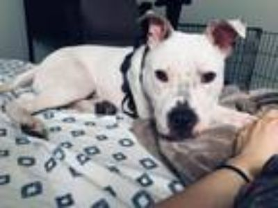 Adopt Elliot a American Staffordshire Terrier, Pit Bull Terrier
