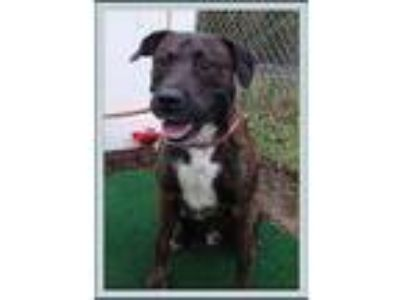 Adopt Diesel a Brindle American Pit Bull Terrier / Mixed dog in Kennesaw