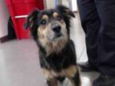 Adopt A4256377 a Border Collie, Mixed Breed