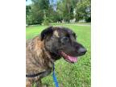 Adopt Capone a Brindle Labrador Retriever / Hound (Unknown Type) / Mixed dog in