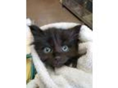 Adopt York a All Black Domestic Shorthair / Domestic Shorthair / Mixed cat in