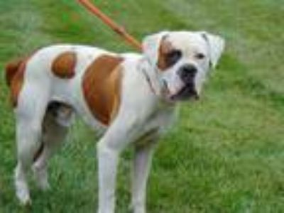 Adopt BAMBAM a White - with Brown or Chocolate Boxer / Mixed dog in Charlotte