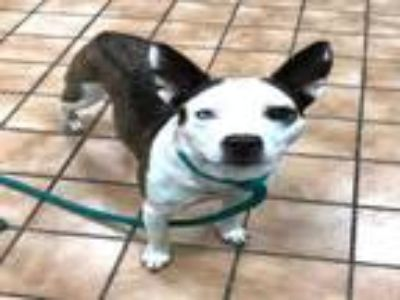 Adopt BARREL RACER a Australian Cattle Dog / Blue Heeler, Pit Bull Terrier