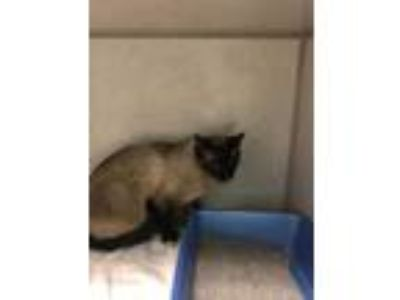Adopt Tiki a Gray or Blue Siamese / Domestic Shorthair / Mixed cat in Salina