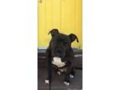 Adopt Fiona (FKA Dior) a Black American Pit Bull Terrier / Mixed dog in