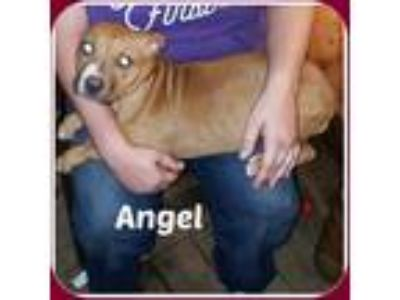 Adopt ANGEL a Tan/Yellow/Fawn Boxer / Mixed dog in Malvern, AR (22120542)
