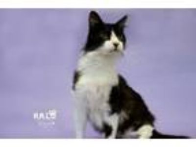 Adopt Winchester a Domestic Long Hair